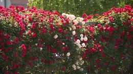 Virágba borul a város