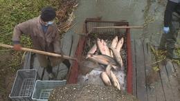 Már javában tart a somogyi tavak lehalászása