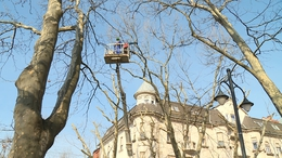 Elkezdődött a fák metszése és a veszélyes ágak eltávolítása