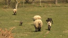 Hármasiker-bárányok születtek Szentbalázson