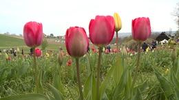 Százezer tulipán fogadta a Kőröshegyi Levendulás látogatóit
