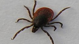 Egyre többen kapják el a Lyme-kórt