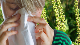Drága mulatság a parlagfű-allergia