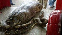 Felfalta az óriáskígyó a részegen alvó férfit