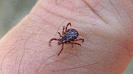 Új kórokózóval támadnak a kullancsok