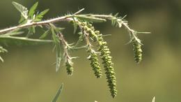 Nagyon magas parlagfű pollenterhelés várható a hétvégén