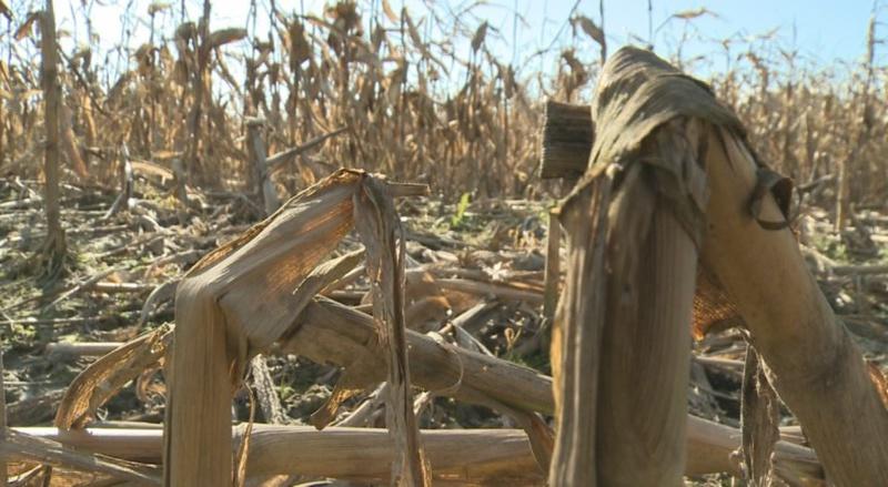 Vaddisznók és szarvasok által letarolt kukoricás Somogyban