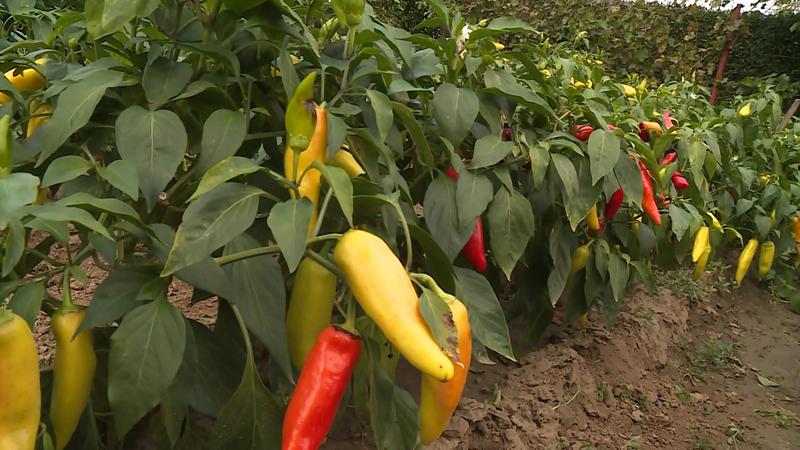 konyhakert paprika