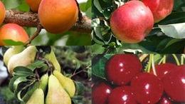 Még évekig drágulhatnak a gyümölcsök