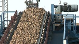 Támogatással ösztönöznék a hazai cukorrépa termesztőket