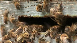 Ha nem érkezik meg a jó idő, tömegesen elpusztulnak a méhek