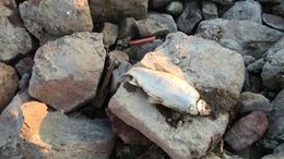 Kevésbé pusztulnak a balatoni halak
