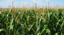Közepes kukoricatermés várható idén Somogyban