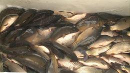 Élő halat venne? Jövő héttől nem fog