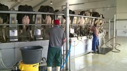 30 milliárdos támogatás a tejtermelőknek