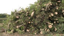 Tüzelő lesz a kerítés miatt kivágott fából