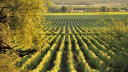 Savanyú a szőlő