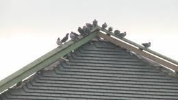 Élő csapdával fogják be a galambokat Kaposváron