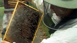 Atka ritkította a méhészeteket