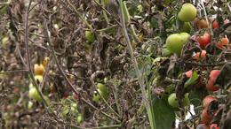 Tönkrevágja a növényeket a sok eső