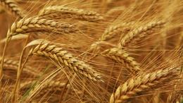 Öt százalékra csökkentenék a gabonafélék áfáját is