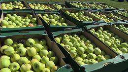 Almát osztottak a rászoruló családoknak