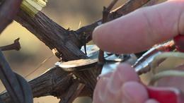 Már metszik a szőlőt a Balatonon