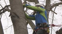 Metszik a kaposvári fákat