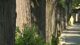 Megújul a város egyik legöregebb fasora