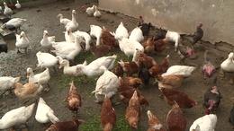 Libákat, kacsákat, tyúkokat gondoznak a somogyi közmunkások