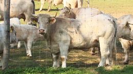 Szarvasmarhák terítéken