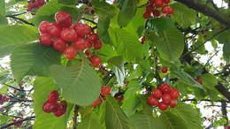 Cseresznyekörkép
