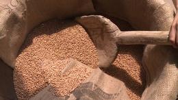 Már gyűjtik a gabonát