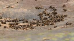 Megvan a tömeges méhpusztulás oka