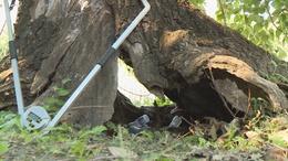 Kivágnak egy nagyon régi és veszélyes fát