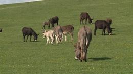 Több mint húsz csacsi született a Bőszénfai Szarvasfarmon