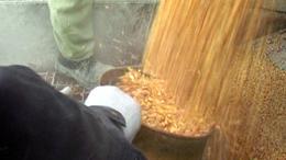 Afrikai csirkék eszik a somogyi kukoricát