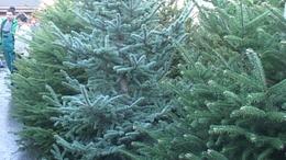 Elszállítják a kidobott karácsonyfákat