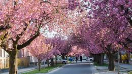 Készülhetnek a fotók: virágba borult a Temesvár utca