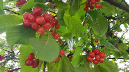 Érett gyümölcsöktől roskadozó cseresznyefát láttunk Toponáron