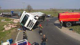 Felborult egy sertésszállító kamion a 61-esen