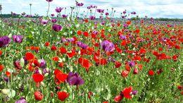 Virágba borult a pamuki mákmező