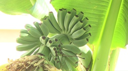 Érik a banán egy kaposvári kertben