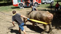 Kútba zuhant egy tehén, a tűzoltók mentették meg