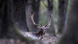 Szerelemtől hangosak a somogyi erdők