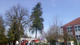 Iskola felé dőlt a 25 méteres fenyő