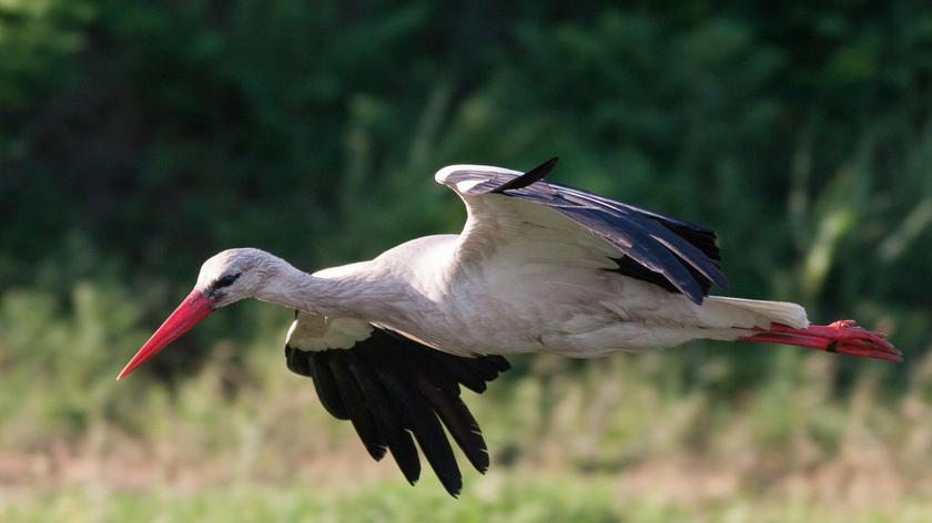 Fehér gólya; fotó: SEFAG Zrt.