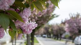 Virágba borultak a japán cseresznyefák