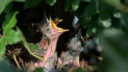 Amit, a madárfiókákról tudni érdemes
