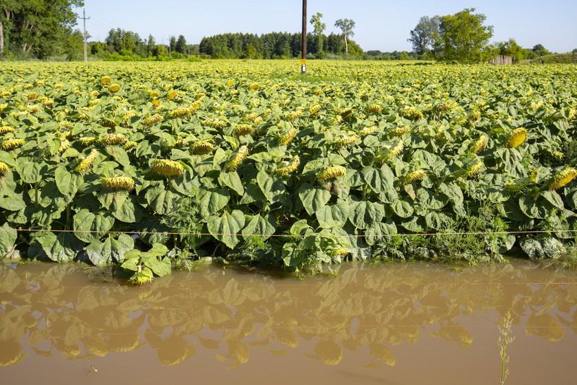 A heves esőzés miatt megáradt Rinya-patak által elöntött napraforgótábla Babócsánál 2020. július 28-án. MTI/Varga György